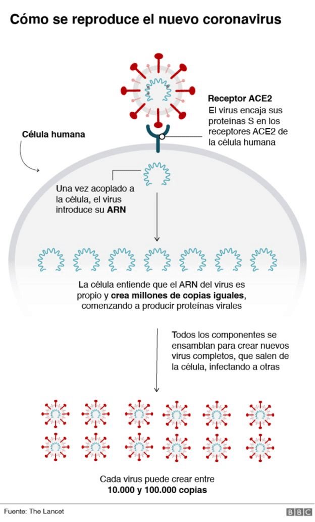 Cómo se reproduce el covid en nuestro organismo
